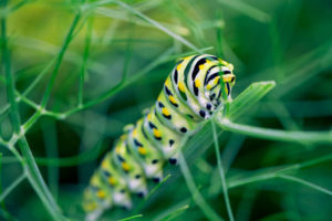swallowtail caterpillar on fennel