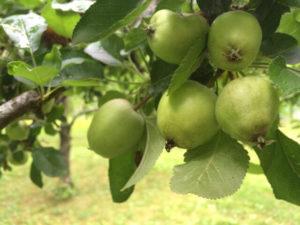 Apple-cluster-Landers-15279-640p