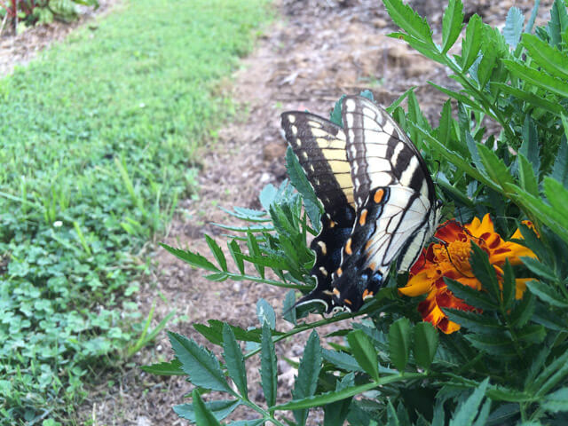 A swallowtail drinks from a marigold. Hopefully, it will lay eggs on the nearby host plants!