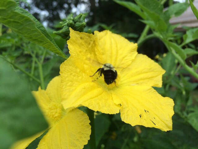Encourage your squashes to stop producing new flowers by trimming the growing ends of the vine.
