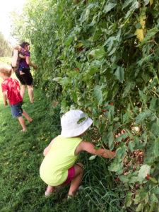 Tomato-Harvest-53