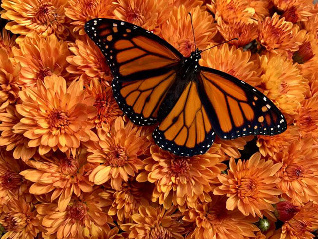 Monarch on mums. David Stallings