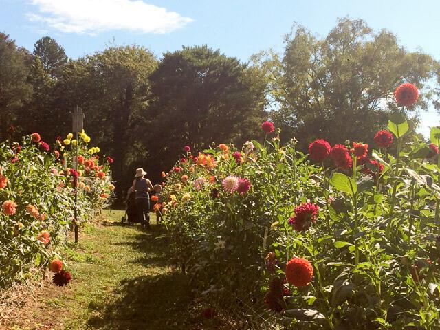Dahlias at Bullington Gardens