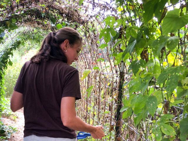 Kim in her caterpillar tunnel. The open area was honeyvine milkweed.