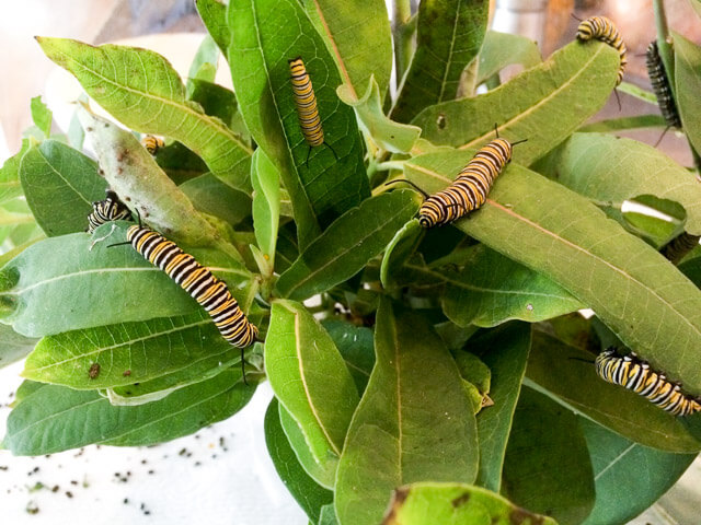 Caterpillars munching on freshly-picked milkweed inside.
