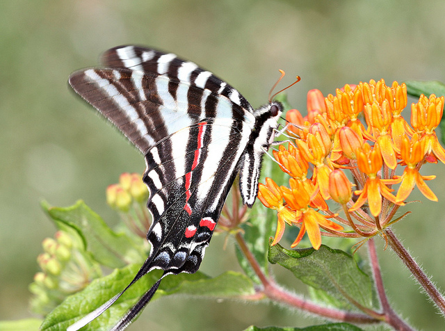 A zebra swallowtail near Charlotte, NC. Kim hopes her pawpaw patch will be home to the species soon. Photos: John Flannery/Flickr