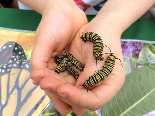 Monarch caterpillars! Photo: Kim Bailey