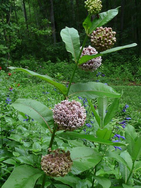 Common milkweed. Photo: Kim Bailey