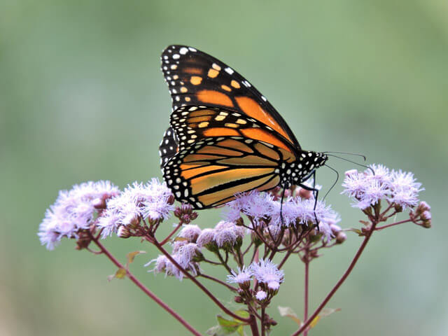 Monarch On Ageratum. Photo: Kim Bailey