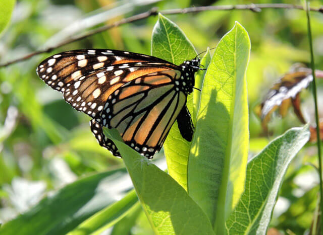 A monarch laying eggs on milkweed, Earth Day 2015. Photo: Kim Bailey