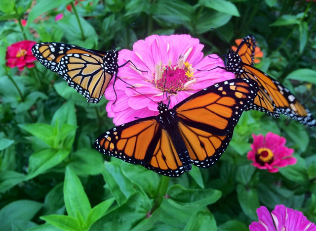 monarch_zinnias_2