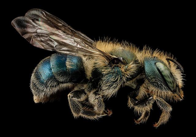 Osmia atriventris via USGS Bee Lab