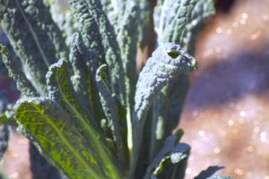 Kale (especially sparkly kale) is perfect for a spring garden!
