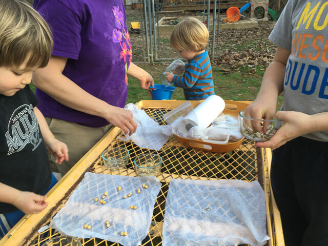 Seed germination test with peas and sunflowers