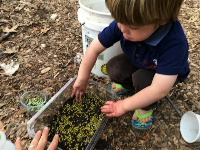 Seeding microgreens