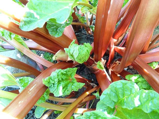 Rhubarb is a common edible perennial