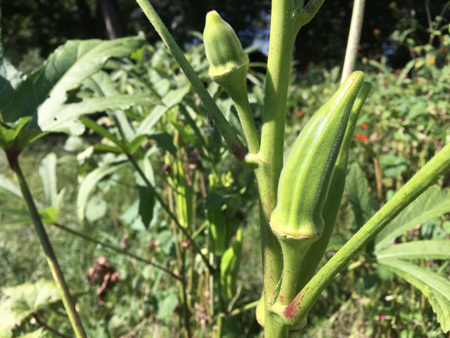 The next okra harvest may be gumbo bound via a freezer meal!